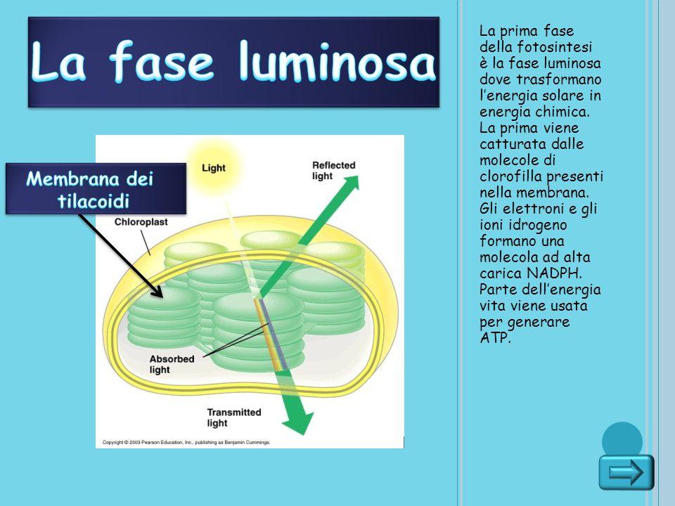La fase luminosa Membrana dei tilacoidi