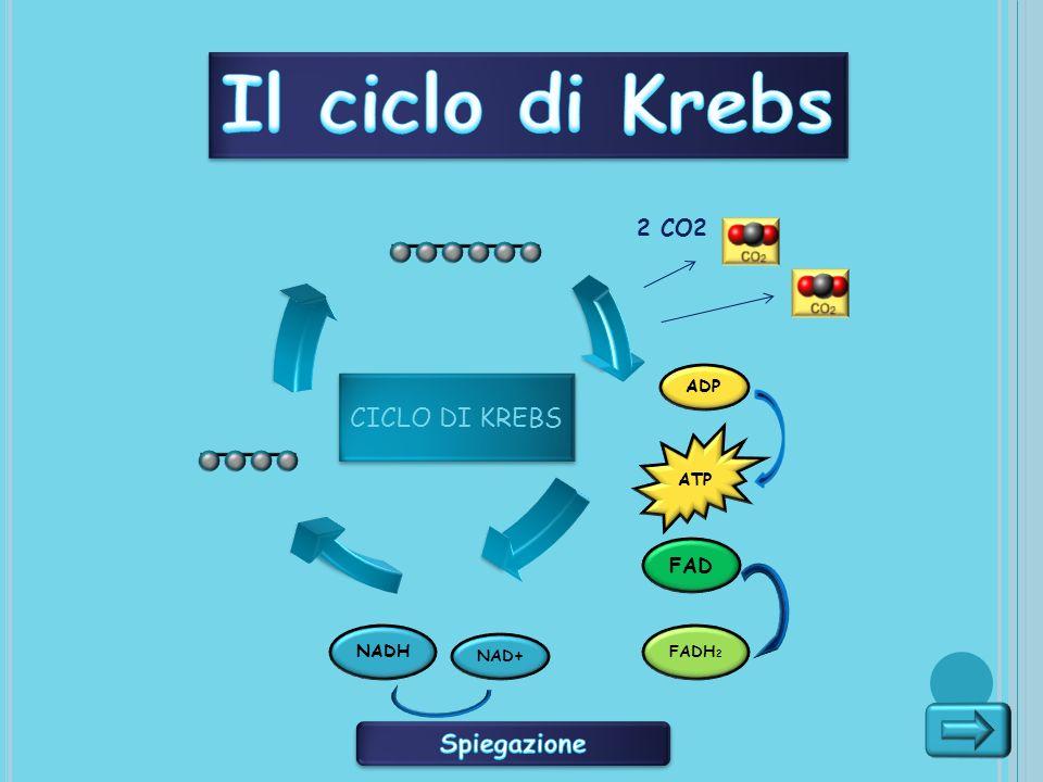Il ciclo di Krebs CICLO DI KREBS Spiegazione 2 CO2 FAD ADP ATP NADH