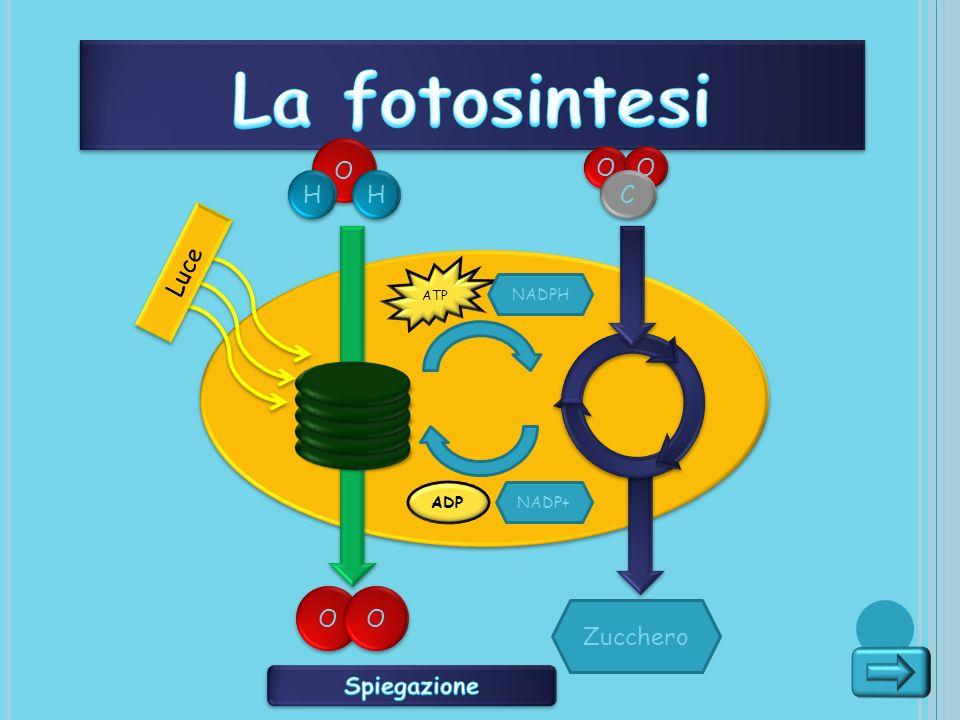 La fotosintesi O O O H H C Luce O O Zucchero Spiegazione NADPH ADP