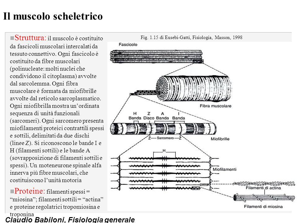 Il muscolo scheletrico