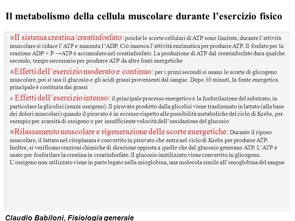 Il metabolismo della cellula muscolare durante l'esercizio fisico