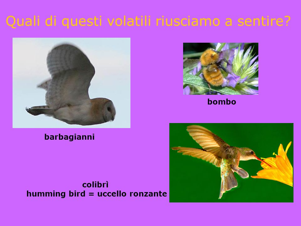 humming bird = uccello ronzante