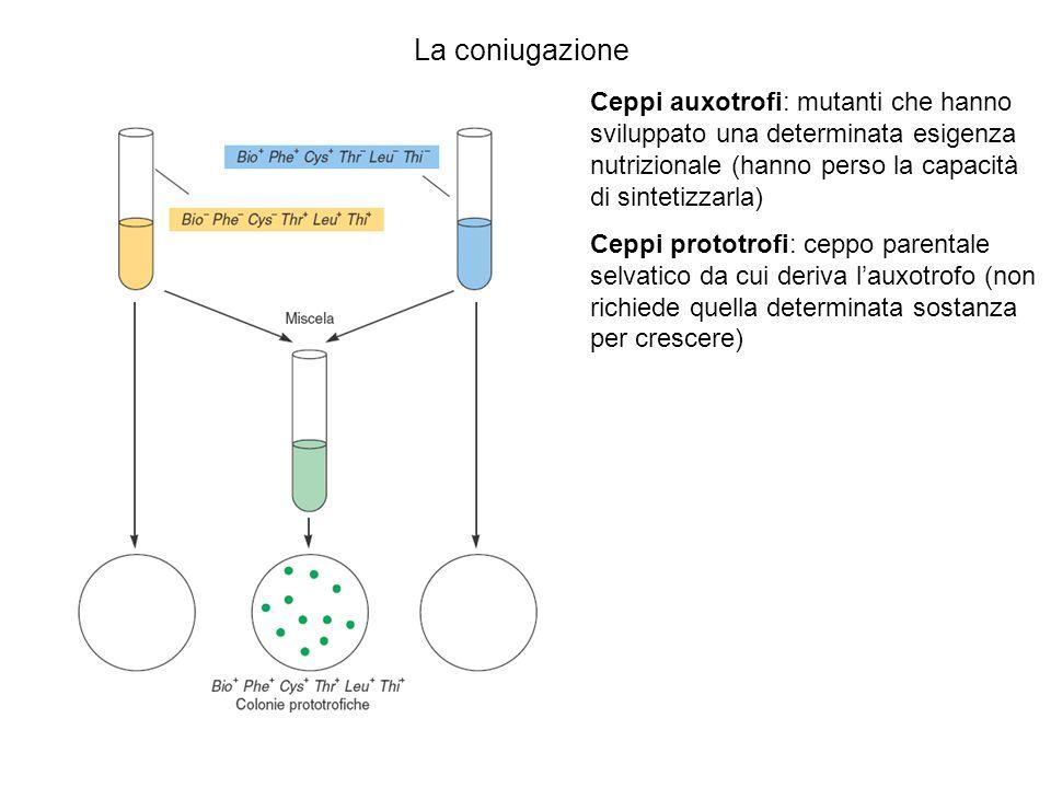La coniugazione Ceppi auxotrofi: mutanti che hanno sviluppato una determinata esigenza nutrizionale (hanno perso la capacità di sintetizzarla)
