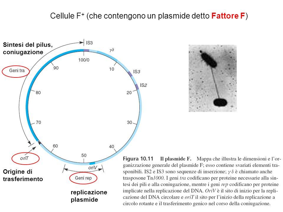 Cellule F+ (che contengono un plasmide detto Fattore F)