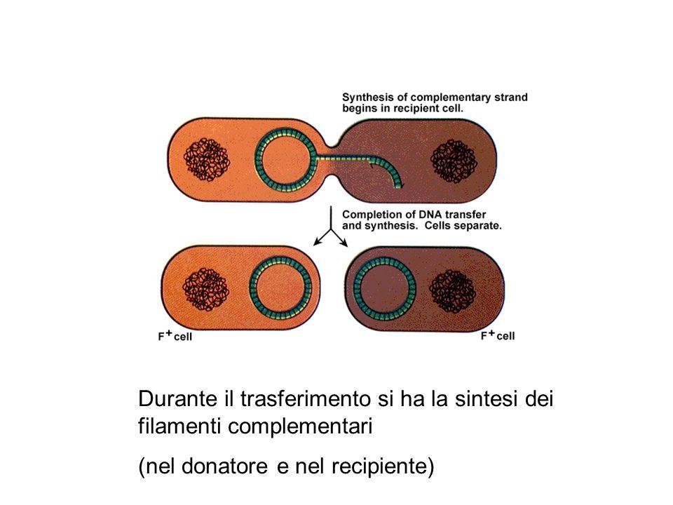 Durante il trasferimento si ha la sintesi dei filamenti complementari