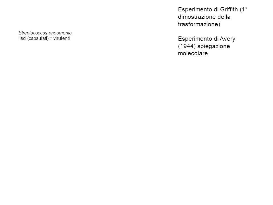 Esperimento di Griffith (1° dimostrazione della trasformazione)