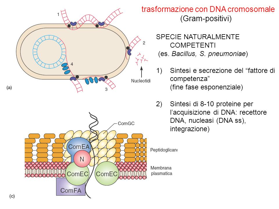 trasformazione con DNA cromosomale (Gram-positivi)