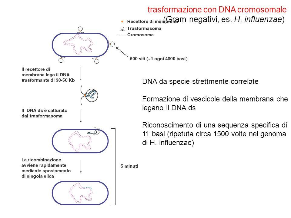 trasformazione con DNA cromosomale (Gram-negativi, es. H. influenzae)