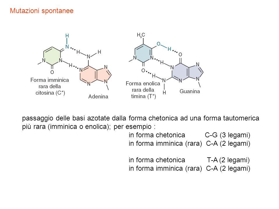 Mutazioni spontanee passaggio delle basi azotate dalla forma chetonica ad una forma tautomerica più rara (imminica o enolica); per esempio :