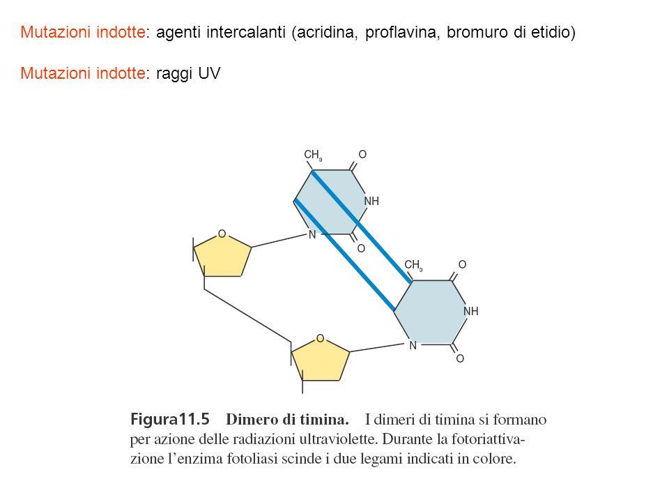 Mutazioni indotte: agenti intercalanti (acridina, proflavina, bromuro di etidio)