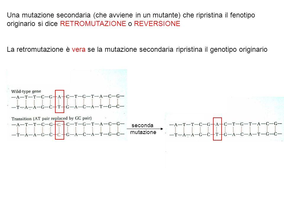 Una mutazione secondaria (che avviene in un mutante) che ripristina il fenotipo originario si dice RETROMUTAZIONE o REVERSIONE