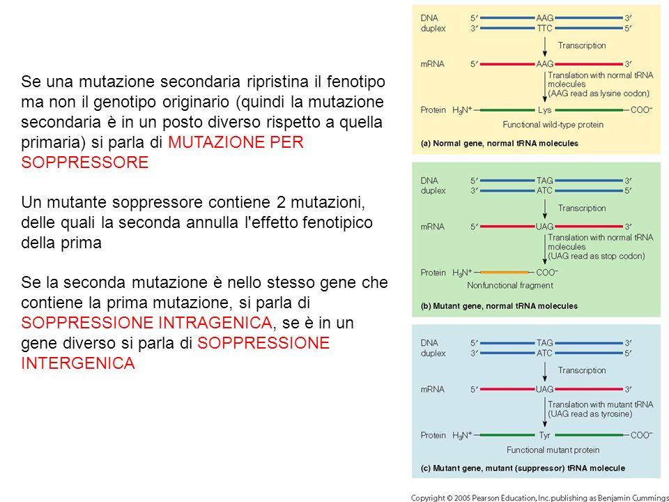 Se una mutazione secondaria ripristina il fenotipo ma non il genotipo originario (quindi la mutazione secondaria è in un posto diverso rispetto a quella primaria) si parla di MUTAZIONE PER SOPPRESSORE