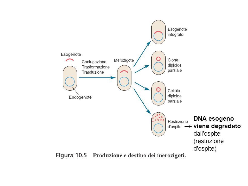 DNA esogeno viene degradato dall'ospite (restrizione d'ospite)