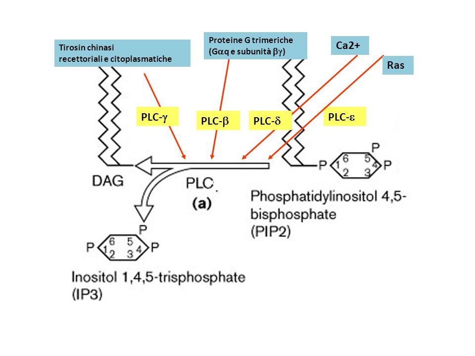 Ca2+ Ras PLC-g PLC-e PLC-b PLC-d Proteine G trimeriche