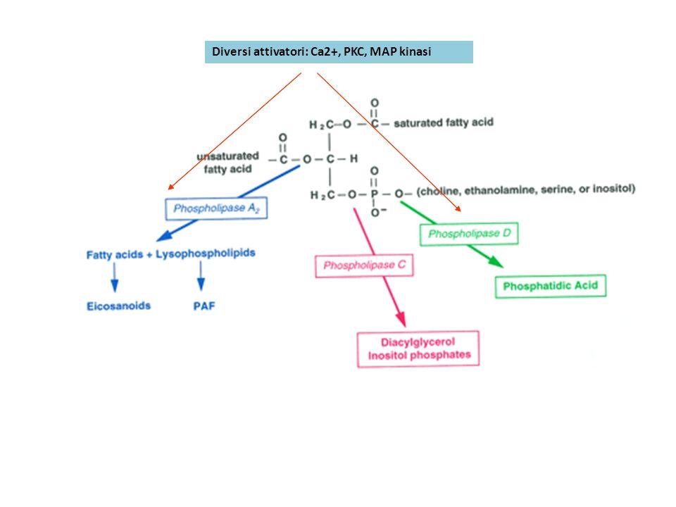 Diversi attivatori: Ca2+, PKC, MAP kinasi