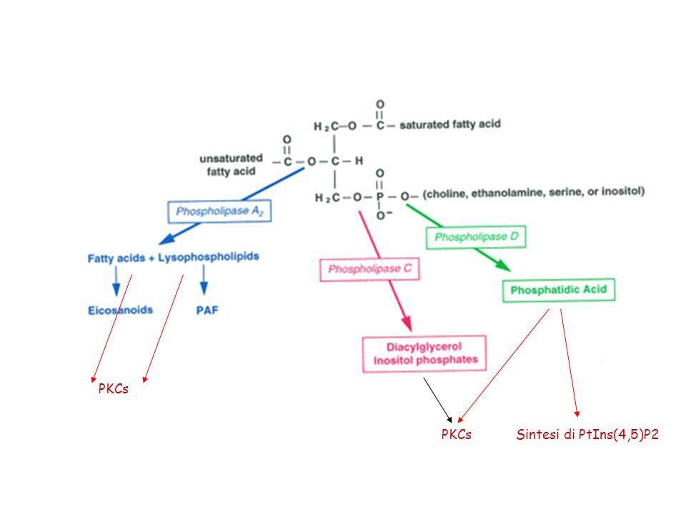 PKCs PKCs Sintesi di PtIns(4,5)P2