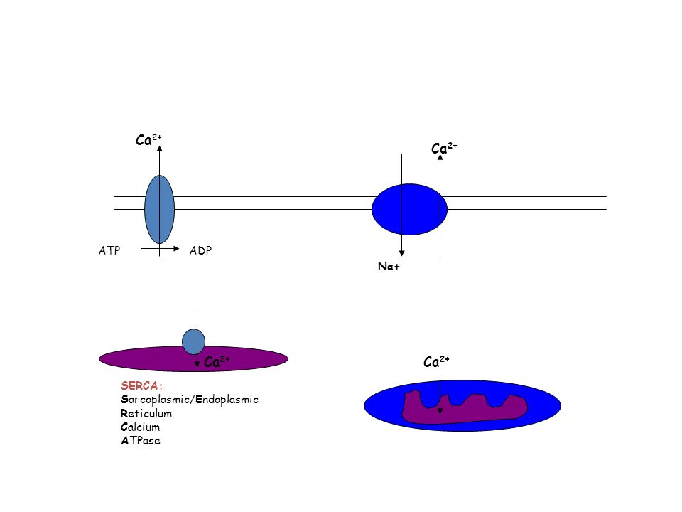 Ca2+ Ca2+ Ca2+ Ca2+ ATP ADP Na+ SERCA: Sarcoplasmic/Endoplasmic
