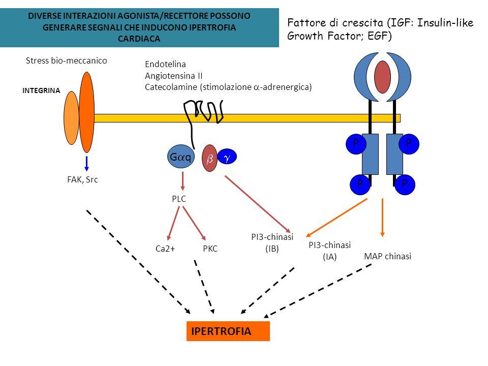 Gaq b g IPERTROFIA Fattore di crescita (IGF: Insulin-like