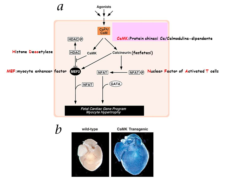 (fosfatasi) CaMK:Protein chinasi Ca/Calmodulina-dipendente