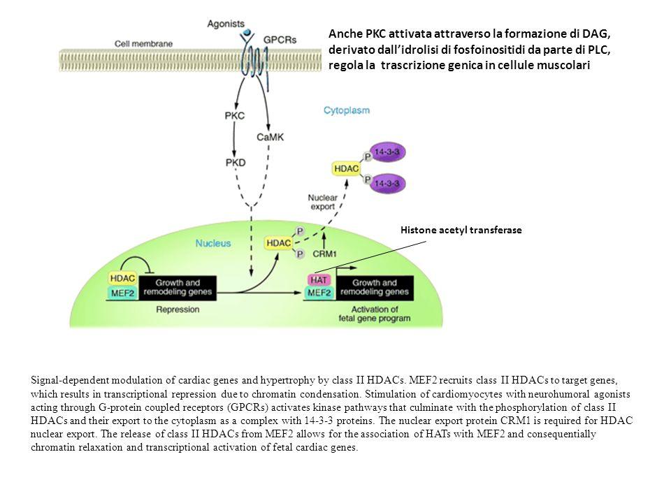 Anche PKC attivata attraverso la formazione di DAG,