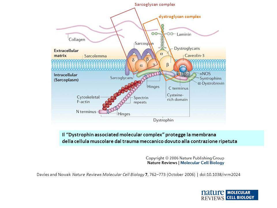 Il Dystrophin associated molecular complex protegge la membrana