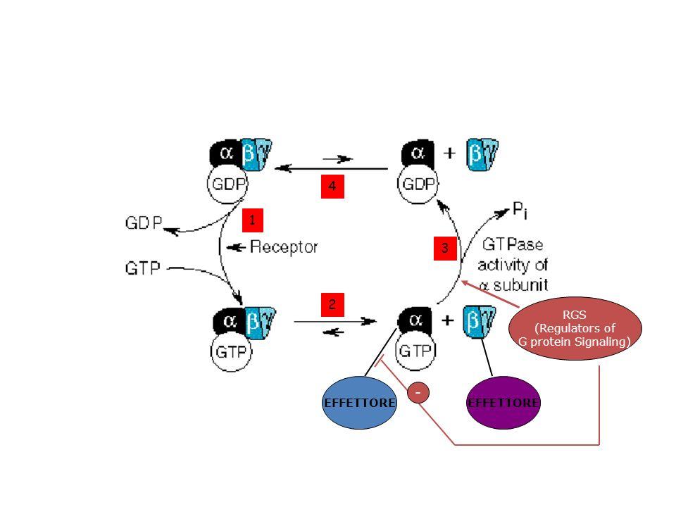 4 1 3 2 RGS (Regulators of G protein Signaling) EFFETTORE EFFETTORE -