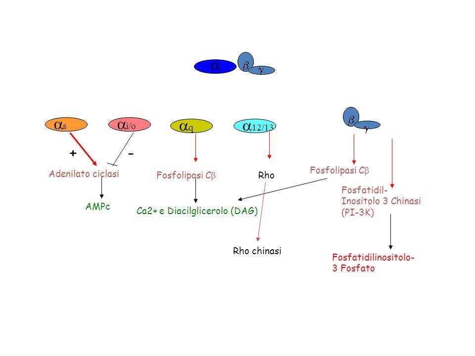 a as ai/o + - aq a12/13 b g b g Adenilato ciclasi AMPc Fosfolipasi Cb