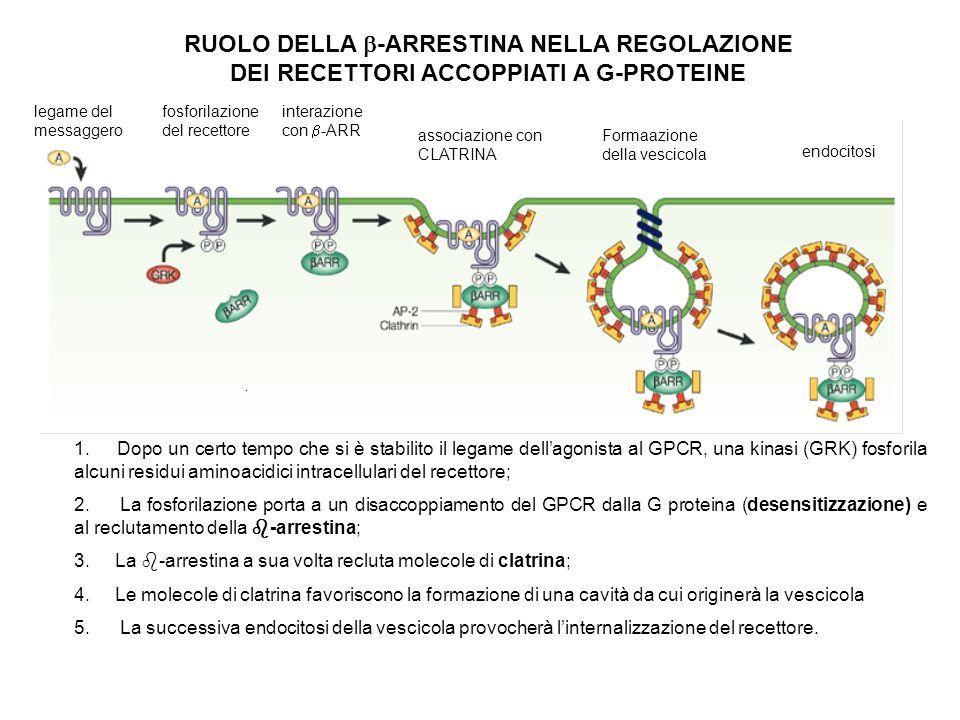 RUOLO DELLA b-ARRESTINA NELLA REGOLAZIONE DEI RECETTORI ACCOPPIATI A G-PROTEINE