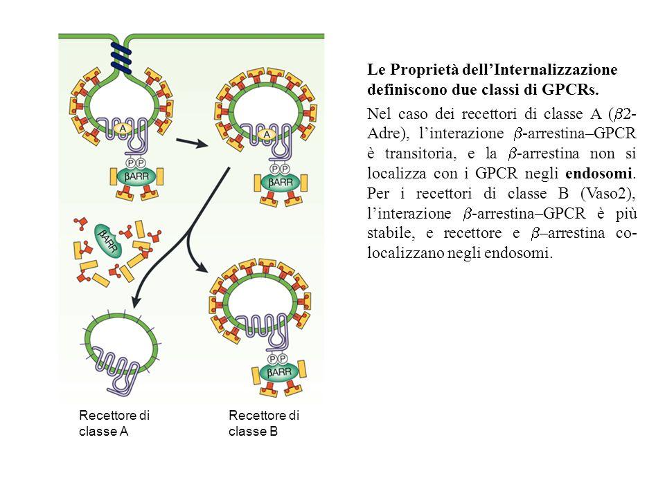 Le Proprietà dell'Internalizzazione definiscono due classi di GPCRs.