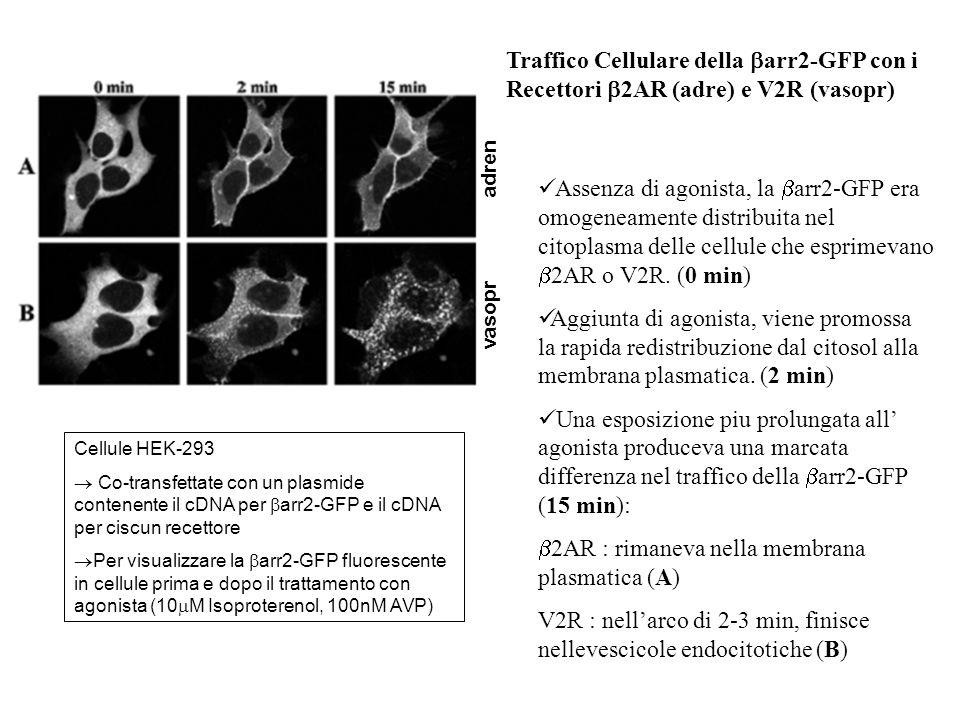 2AR : rimaneva nella membrana plasmatica (A)