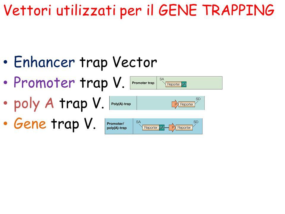 Vettori utilizzati per il GENE TRAPPING