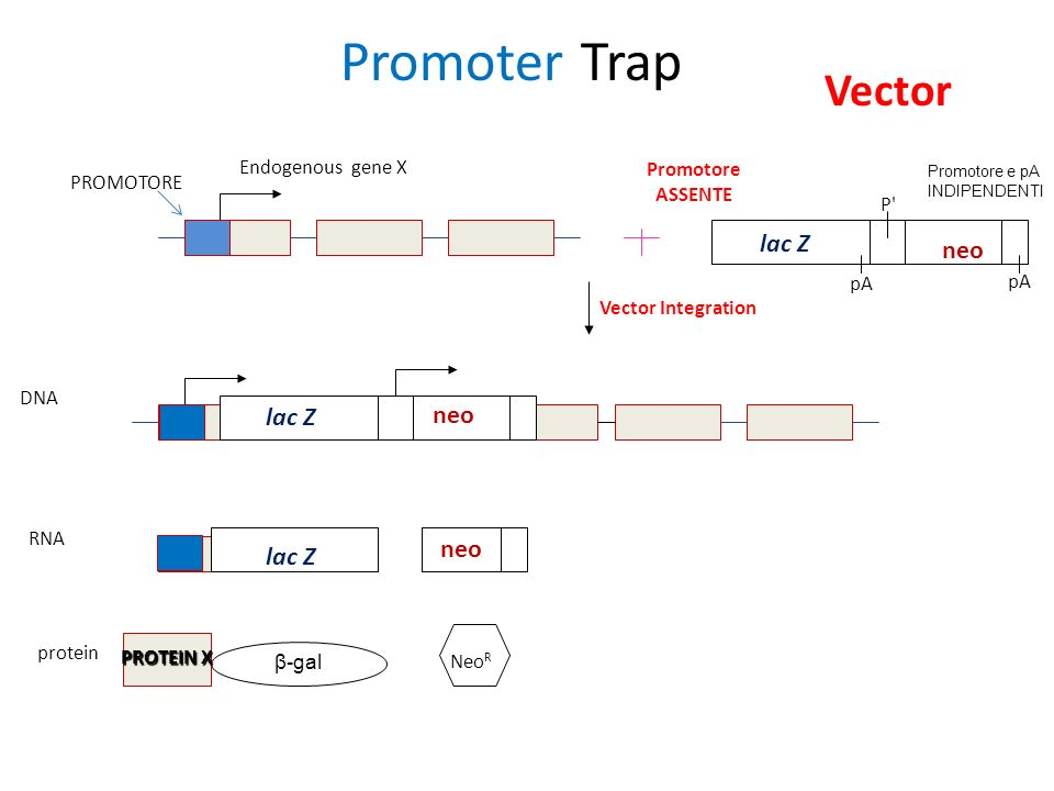 Promoter Trap Vector lac Z neo lac Z neo neo lac Z Endogenous gene X