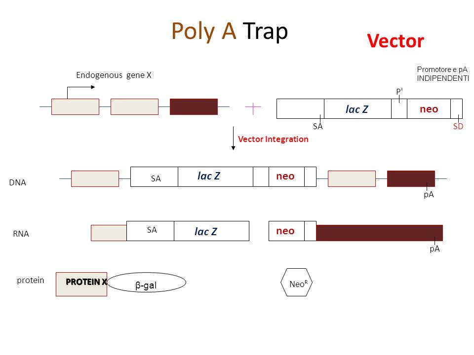 Poly A Trap Vector lac Z neo lac Z neo lac Z neo Endogenous gene X P