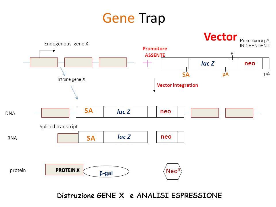Gene Trap Vector SA SA lac Z neo SA lac Z neo lac Z neo NeoR