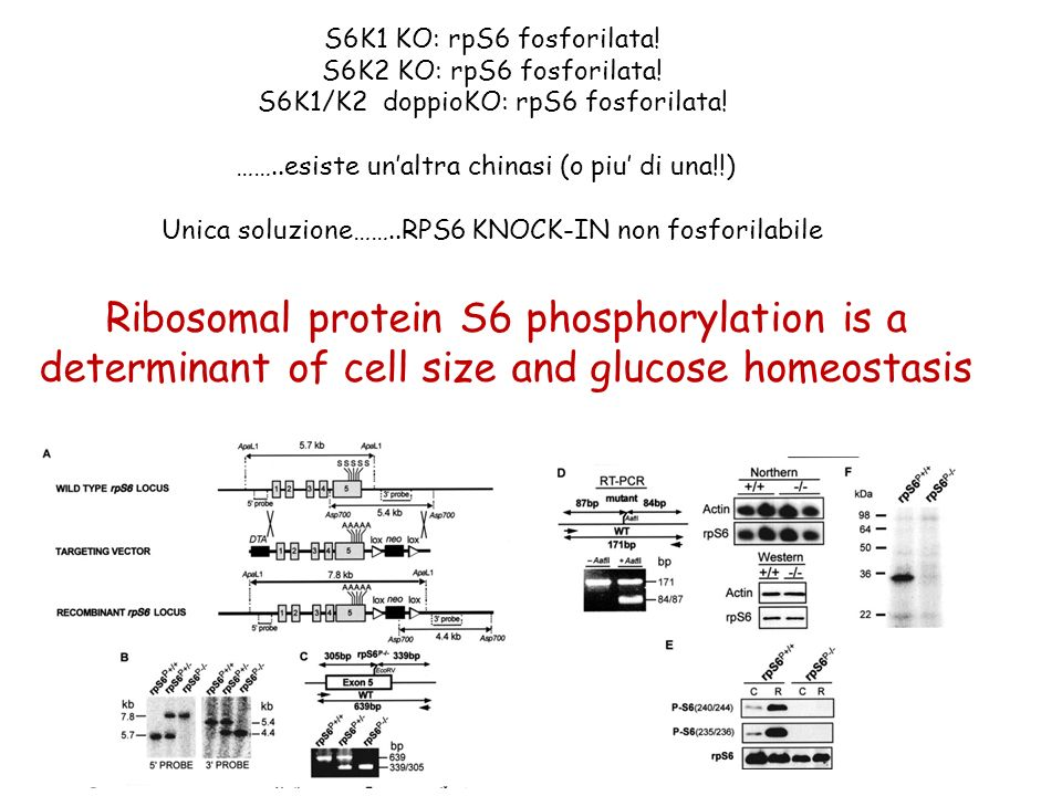 Ribosomal protein S6 phosphorylation is a