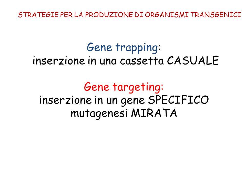 inserzione in una cassetta CASUALE Gene targeting: