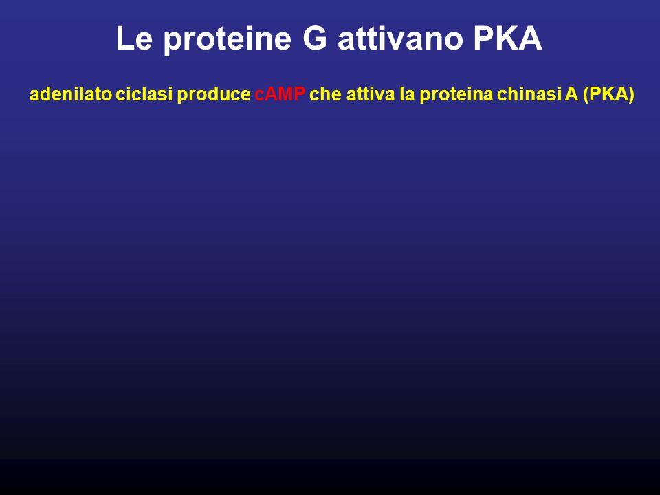 Le proteine G attivano PKA