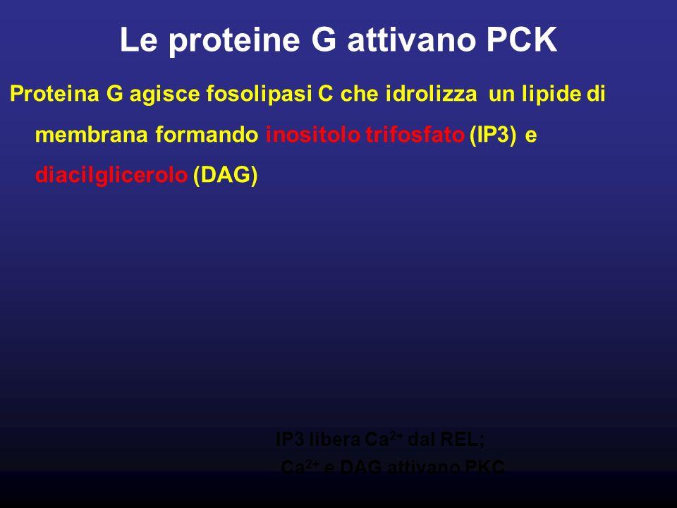 Le proteine G attivano PCK