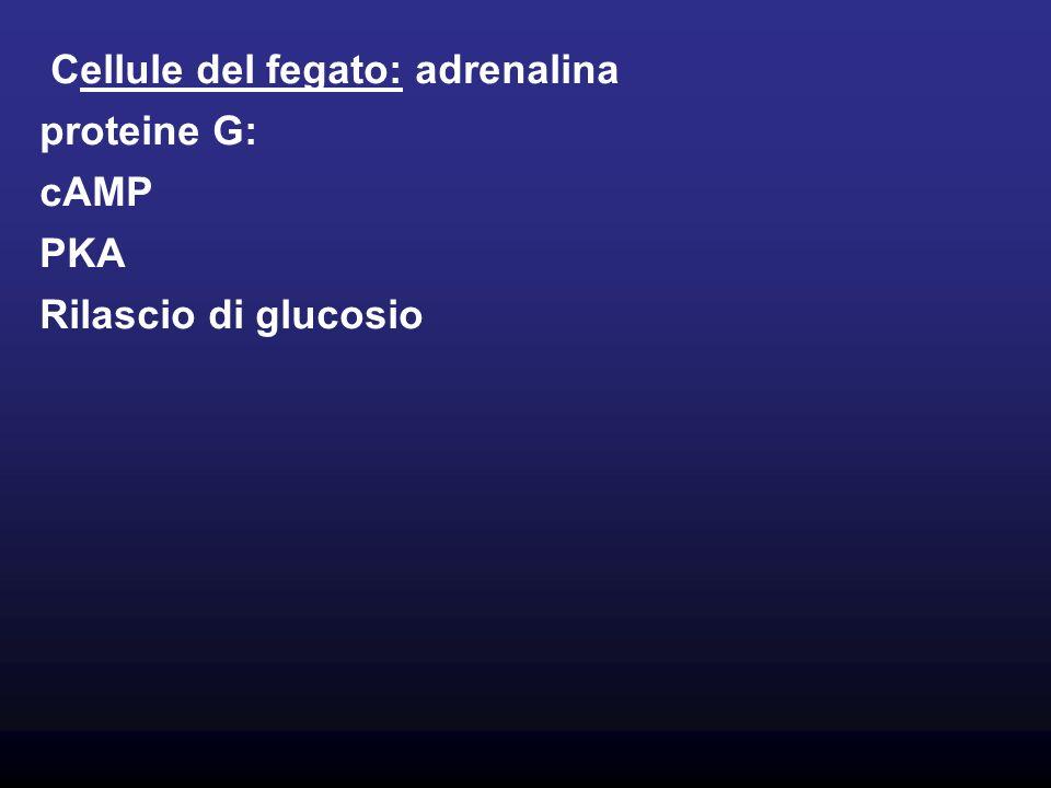 Cellule del fegato: adrenalina
