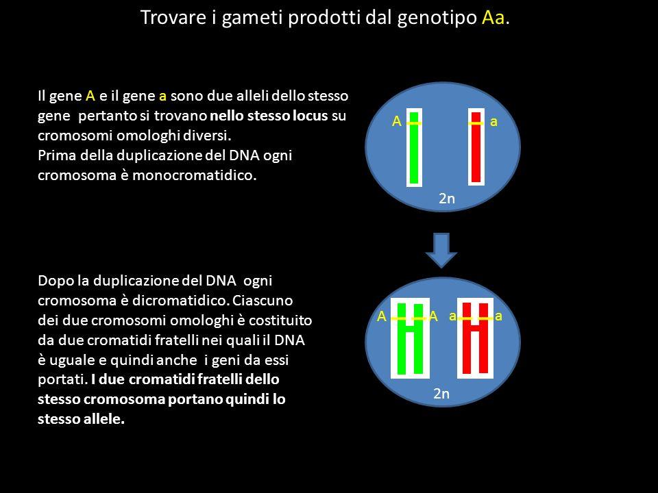 Trovare i gameti prodotti dal genotipo Aa.