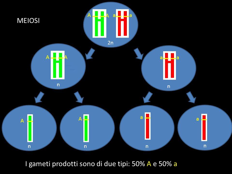 I gameti prodotti sono di due tipi: 50% A e 50% a