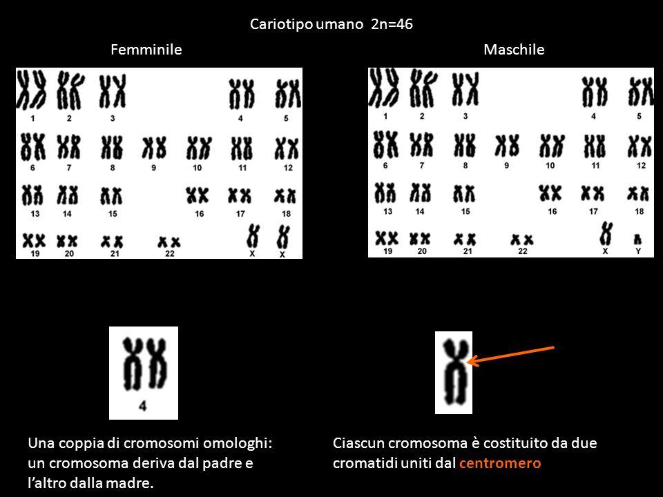Cariotipo umano 2n=46 Femminile. Maschile. Una coppia di cromosomi omologhi: un cromosoma deriva dal padre e l'altro dalla madre.