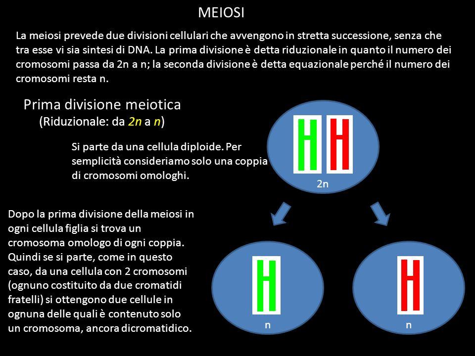Prima divisione meiotica