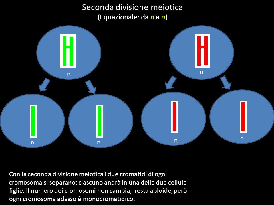 Seconda divisione meiotica