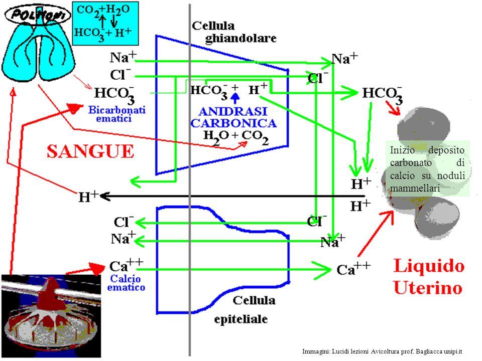Inizio deposito carbonato di calcio su noduli mammellari