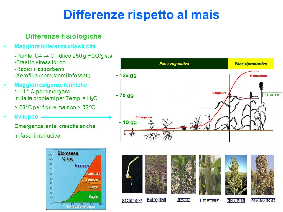 Differenze rispetto al mais Differenze fisiologiche