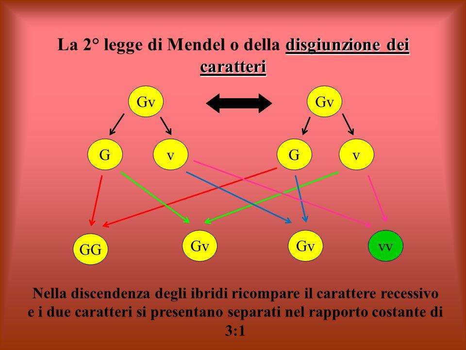 La 2° legge di Mendel o della disgiunzione dei caratteri
