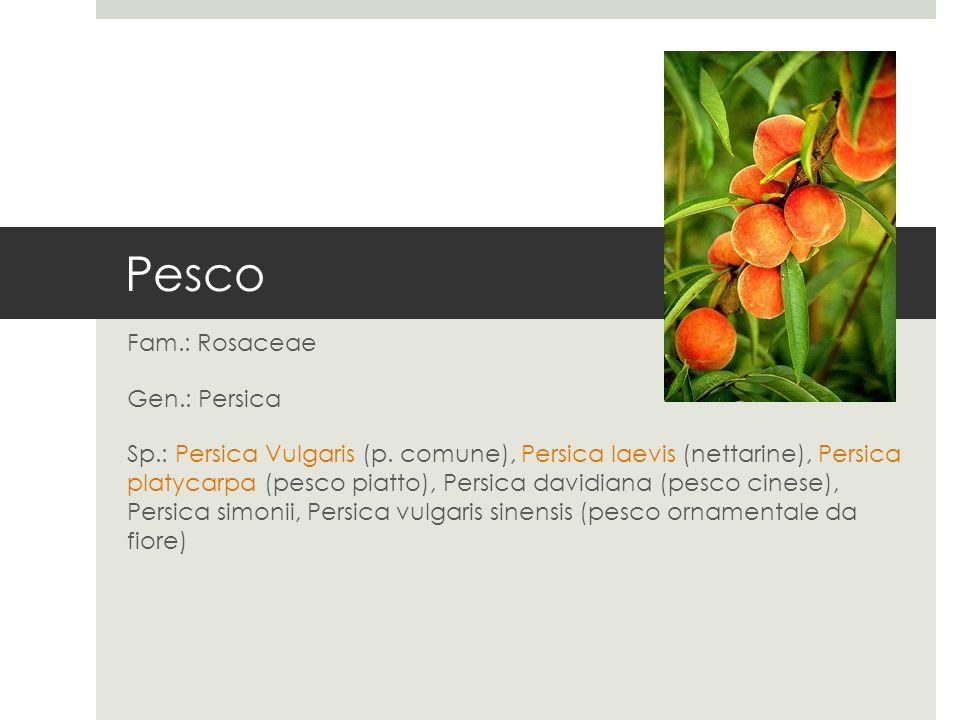 Pesco Fam.: Rosaceae Gen.: Persica