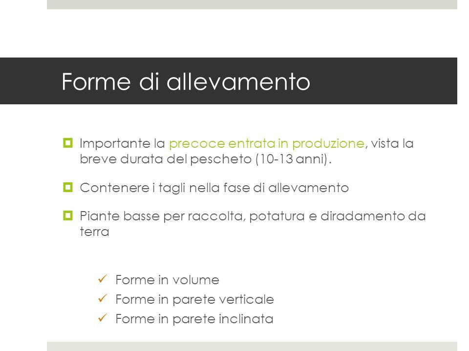 Forme di allevamento Importante la precoce entrata in produzione, vista la breve durata del pescheto (10-13 anni).