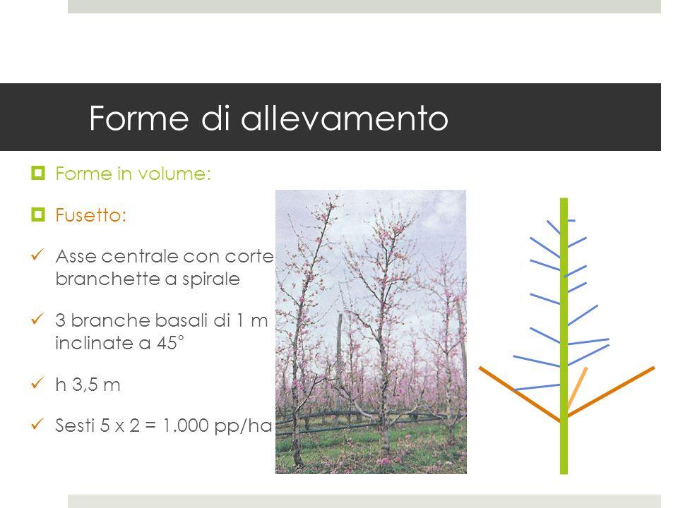 Forme di allevamento Forme in volume: Fusetto: